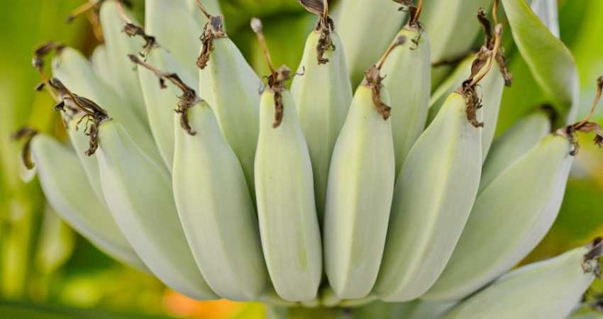 what is the difference between organic and regular bananas