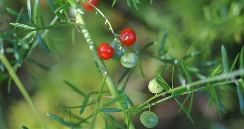 are asparagus berries edible